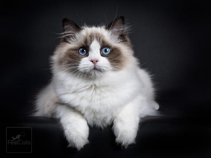 Gato Ragdoll, todo sobre una raza cariñosa y dócil | FeelCats | Gato ragdoll,  Gatos de trapo, Gatos
