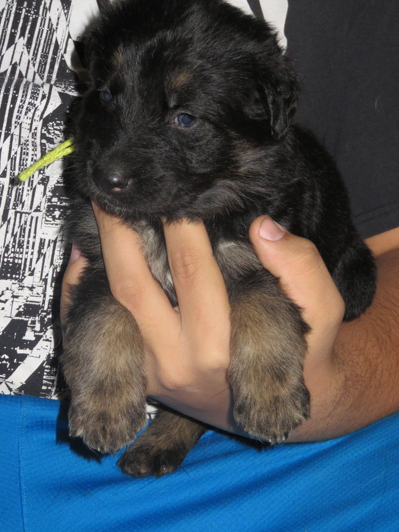 Long Haired German Shepherd Puppies For Sale References