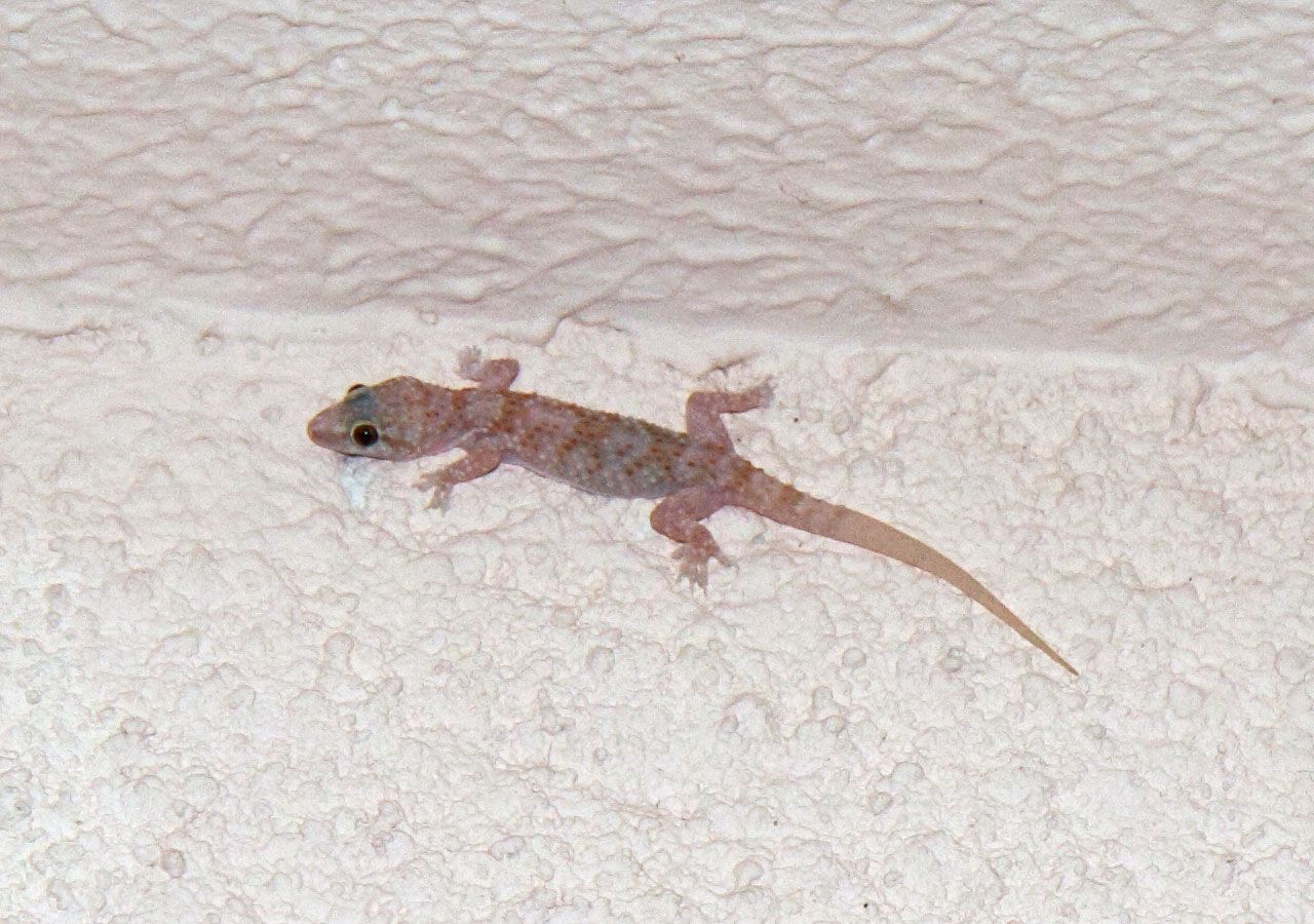 White Lizard--Royalty free stock photos. All pictures are free for commercial and personal use. http://www.publicdomainpictures.net