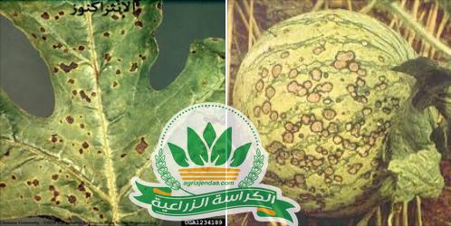 انثركنوز البطيخ اعراضه والوقاية منه وعلاجه الكراسة الزراعية Blog Blog Posts Post