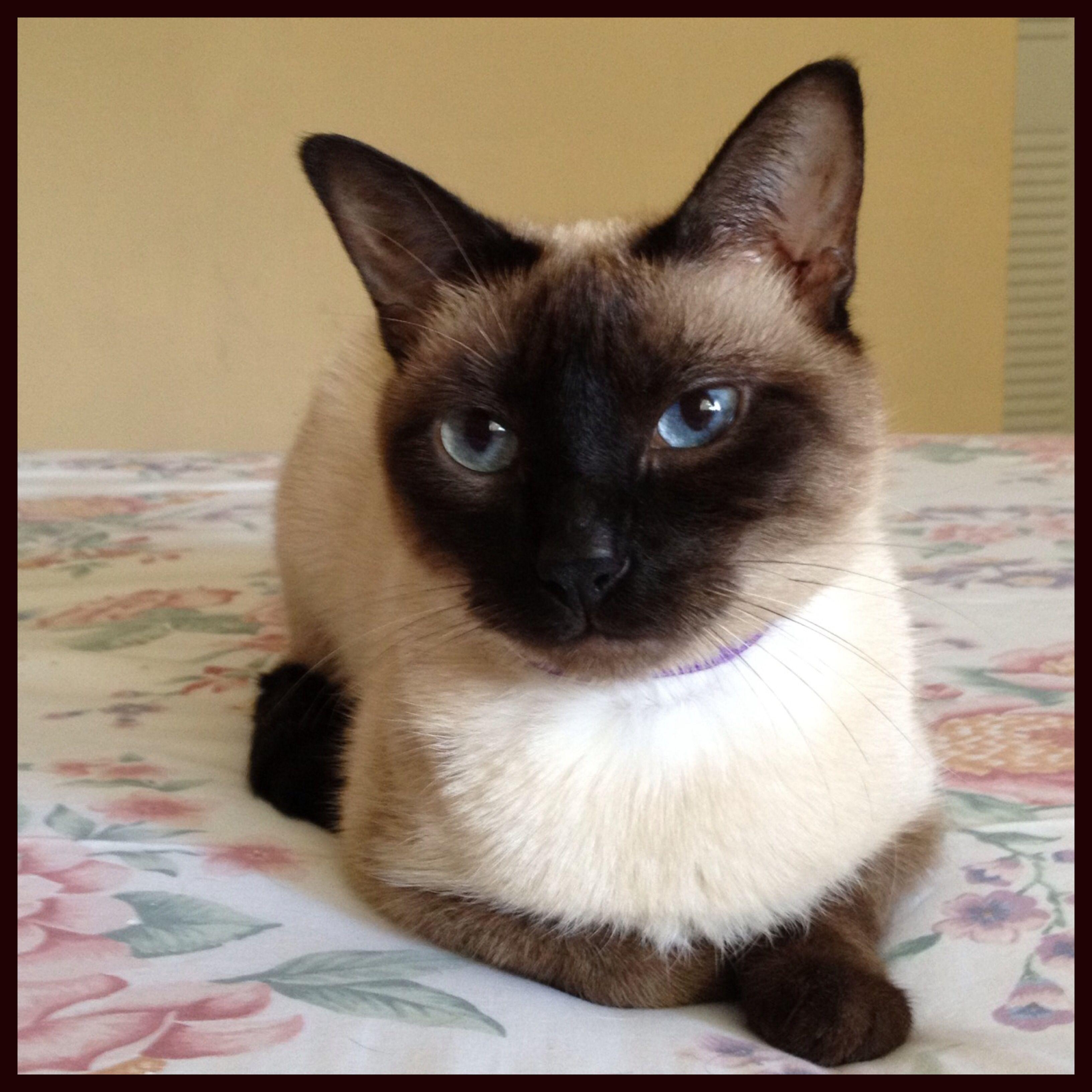 Siamese Cat Pretty Cats Siamese Cats Siamese Kittens
