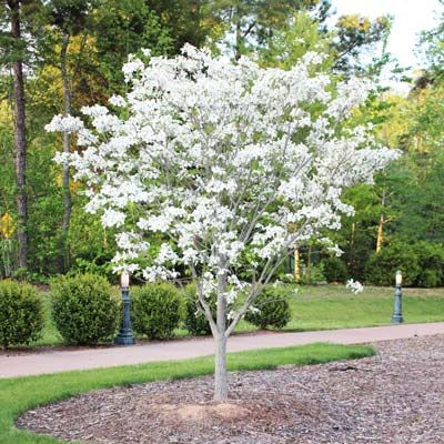 Pacific Dogwood Tree Growing Zone 10 Not For Southern