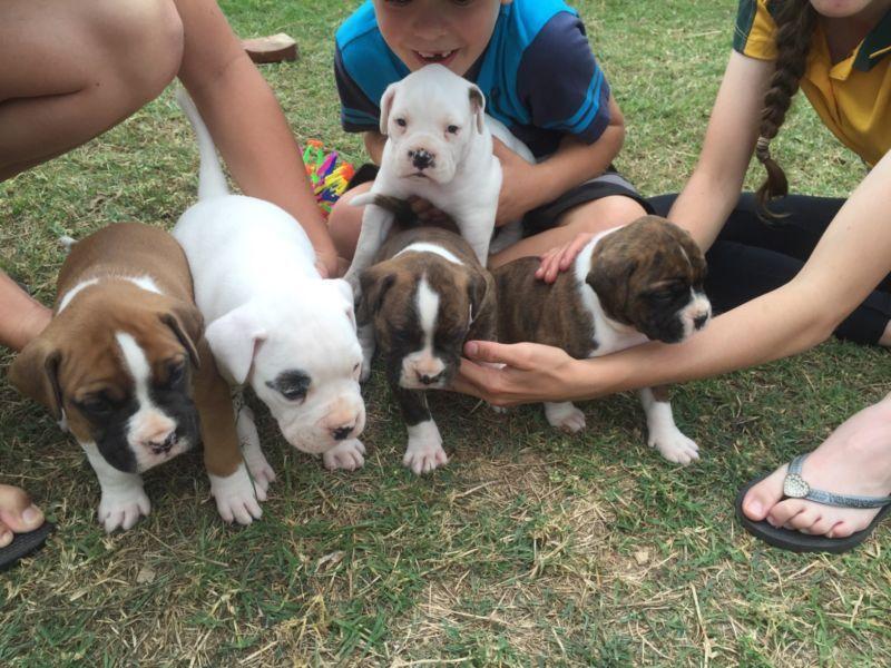 Boxer pups Dogs & Puppies Gumtree Australia Gympie