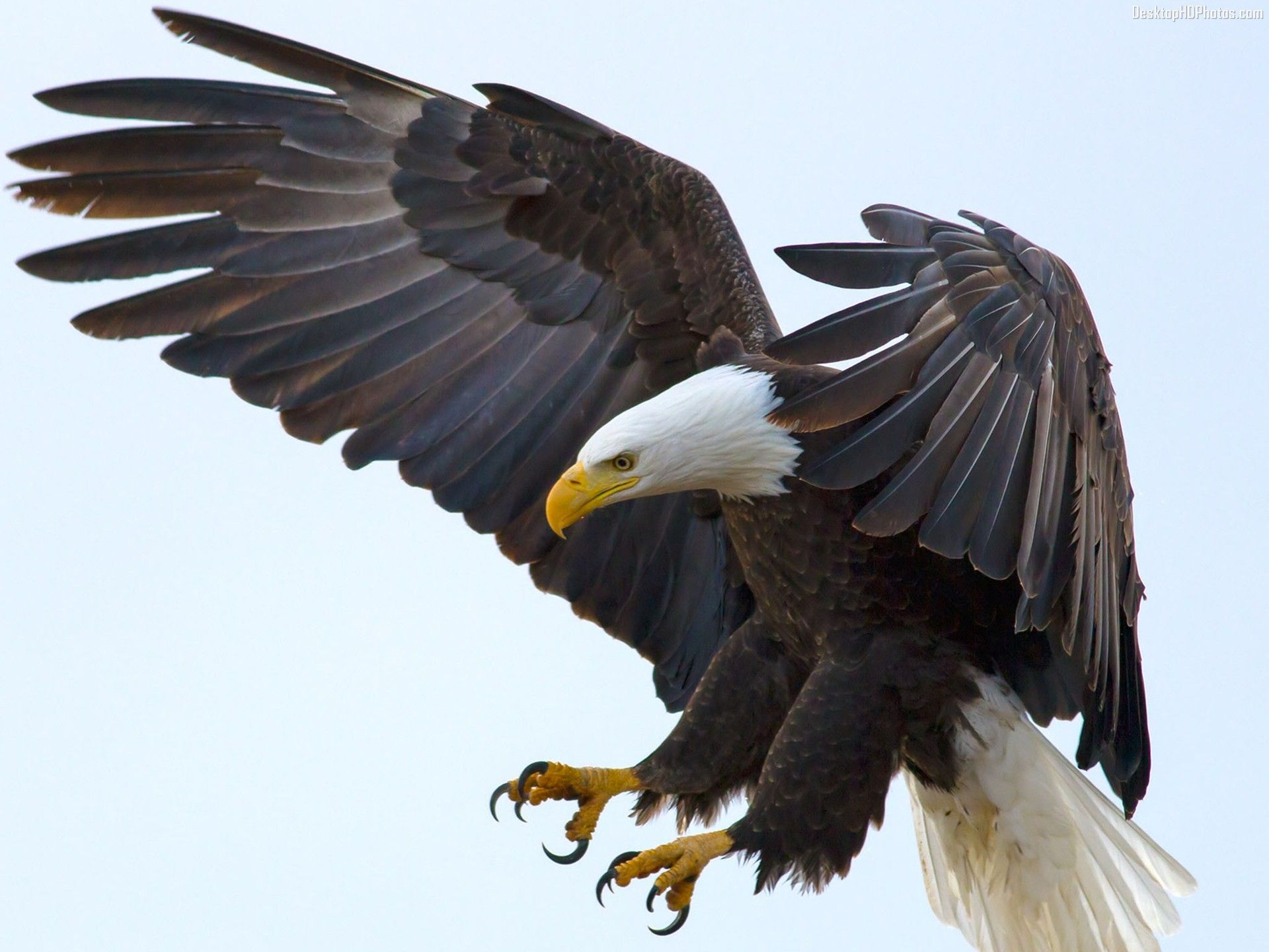 White Headed Bald Eagle 4k Ultra Hd Wallpaper Eagle Wallpaper Bald Eagle Pet Birds