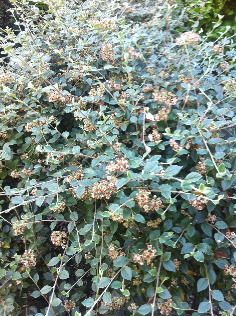 Cotoneaster Sp Deciduous To Evergreen Trees Or Shrubs With