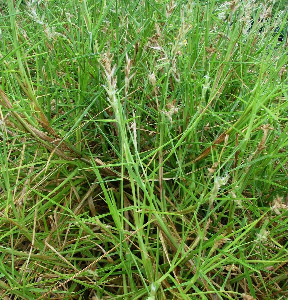 How to get rid of lawn weeds - Sandbur Control How To Get Rid Of Sandburs