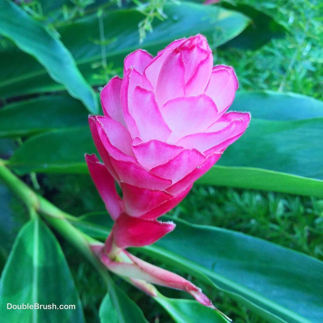 Pink Ginger Flower Plants Are A Classic In Gardens And Resorts In