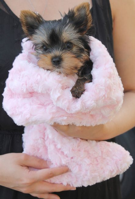 Rosebud Snuggle Pups Adorable Pups Yorkie Puppy Yorkie Dogs