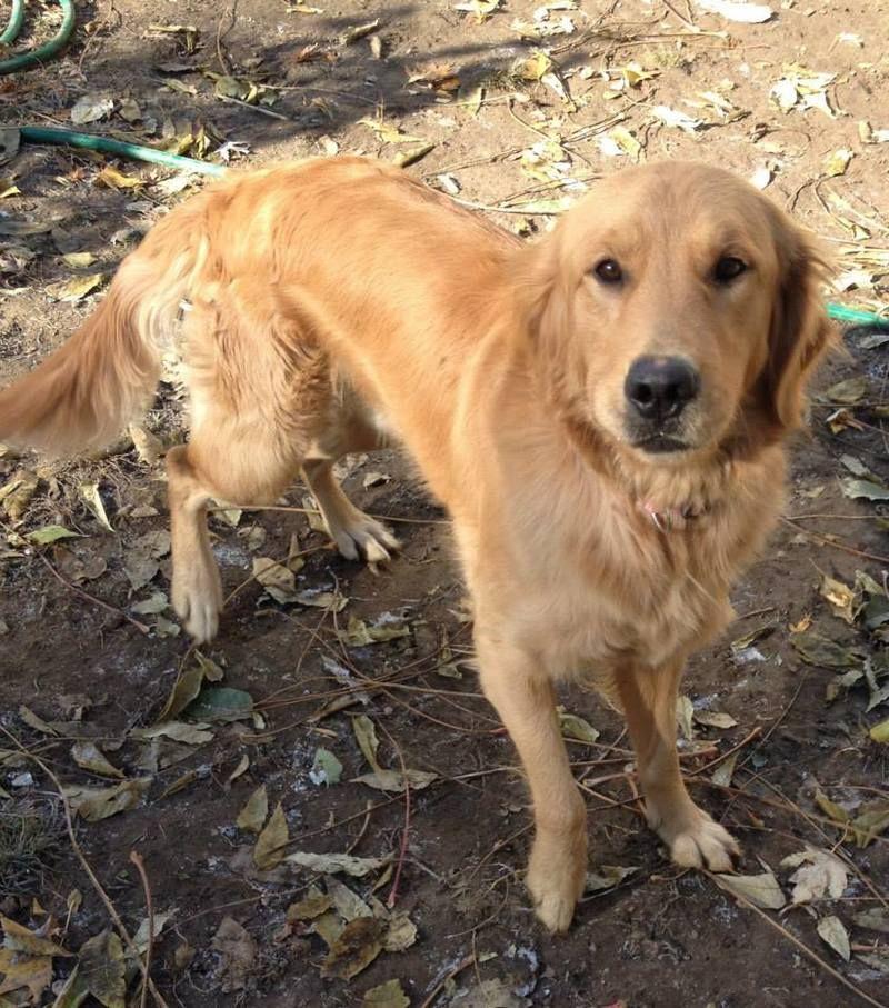 Adopt Yogi On Dog Sounds Dogs Golden Retriever Animal Rescue