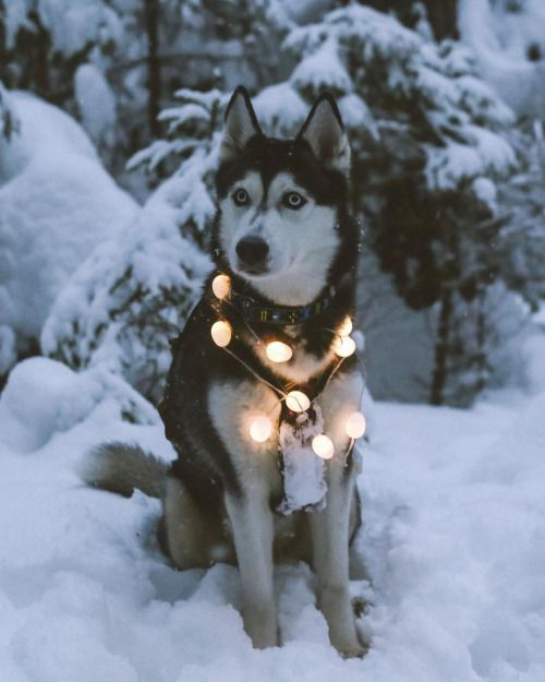 Christmas Husky Dogs Cute Animals