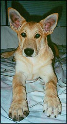 California Carolina Dog Breeders Connectionhttp Www