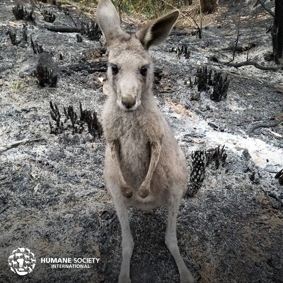 Humane Society International On Instagram Emergency Response Australia Is On Fire And Hsi Is Deploying To In 2020 Humane Society Emergency Response Pet Care