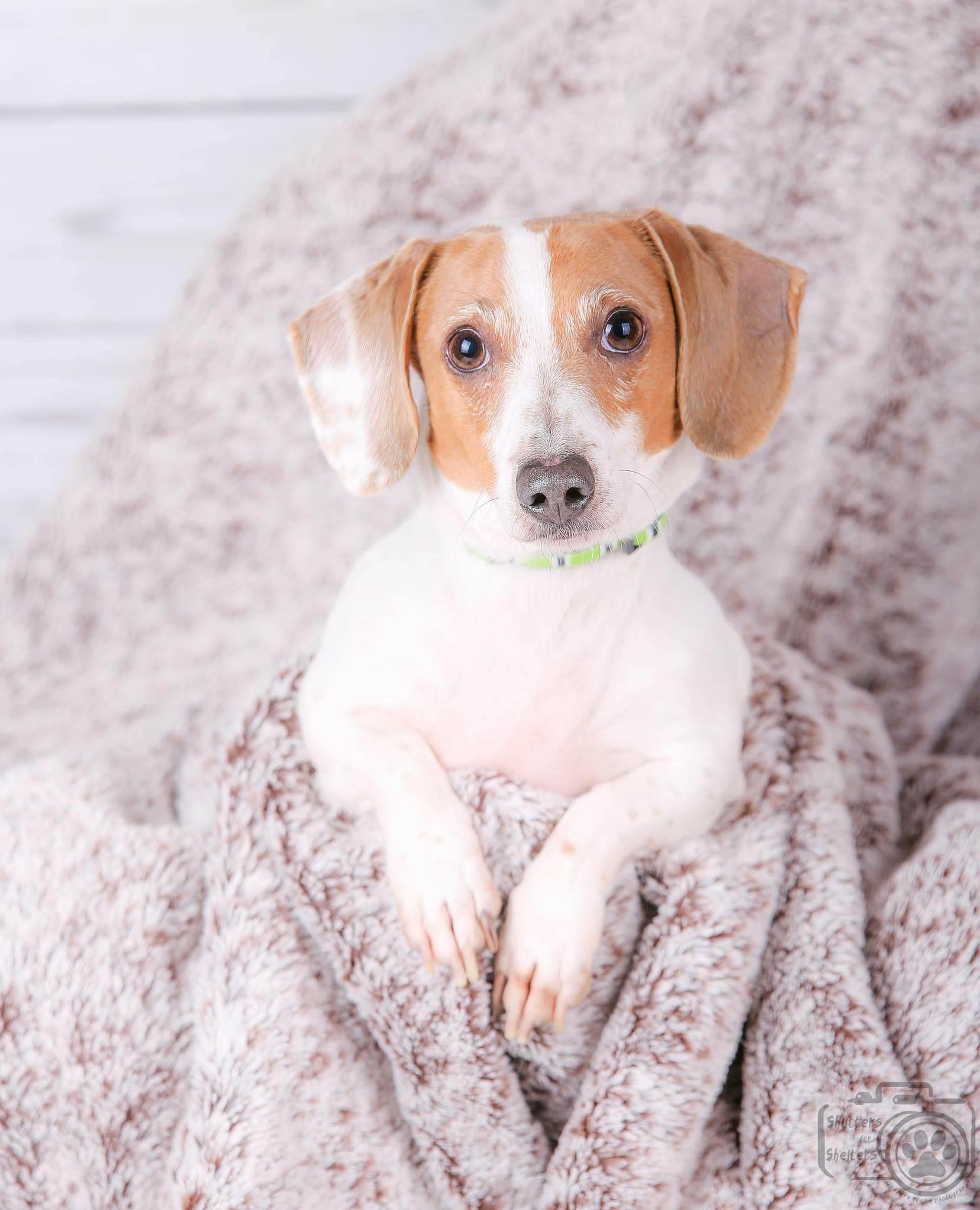 Dachshund dog for Adoption in Colorado Springs, CO. ADN