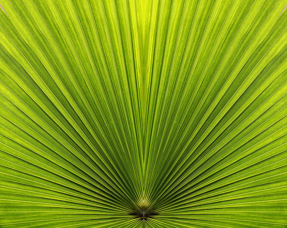 Palm Leaf Geometry In Nature Fractals In Nature Patterns In Nature