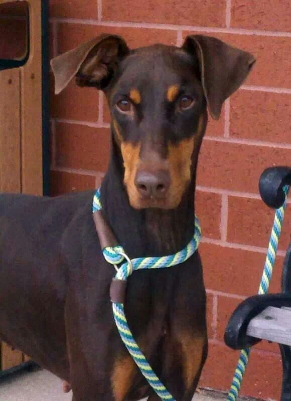 Pin By Ron Schwartz On Dobermans Working Dogs And Other Large