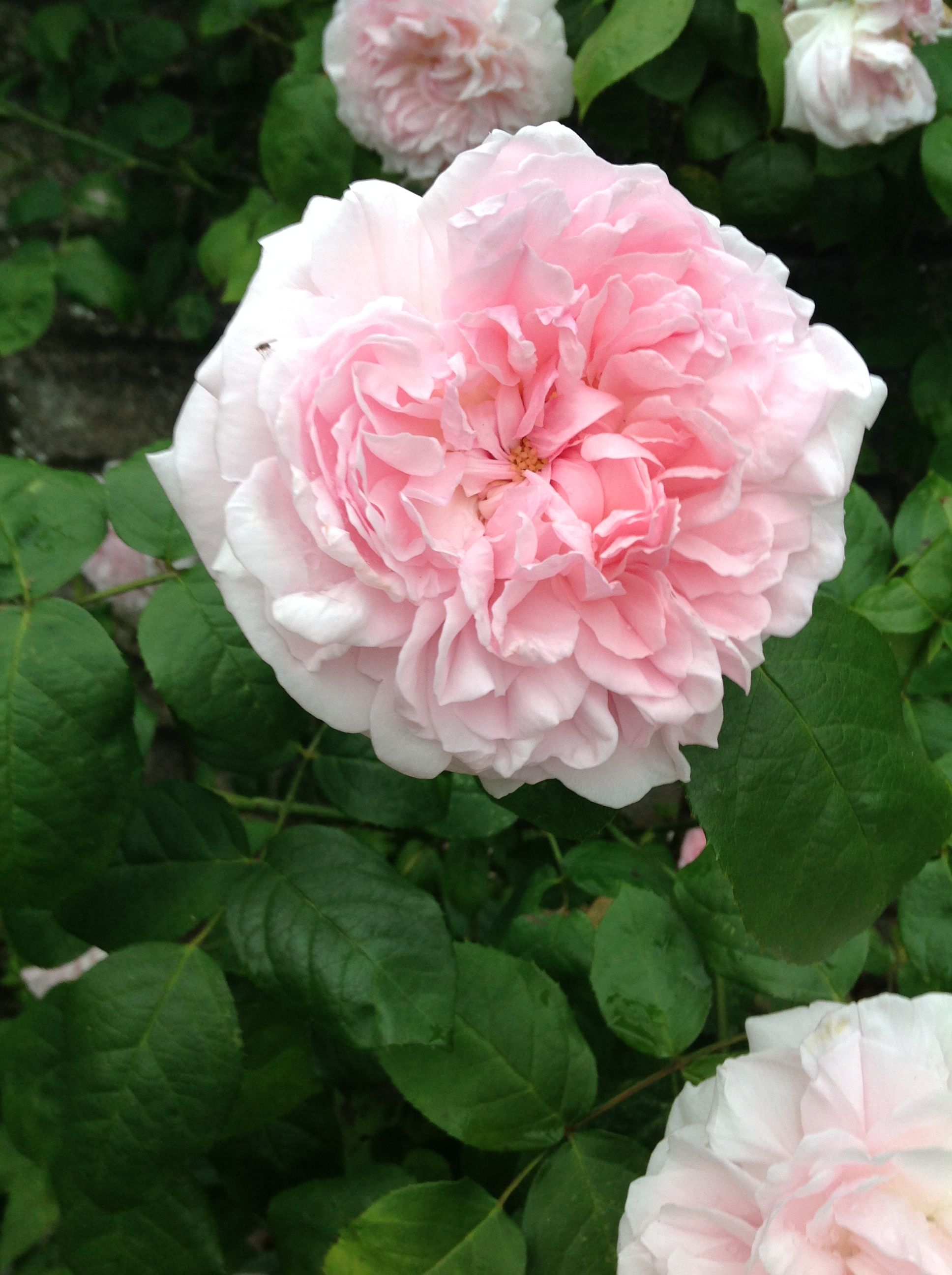 David austin rose called geoff hamilton who used to be my