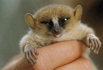 Macarthur Mausmaki Microcebus Macarthurii Lustige Babybilder Susse Tiere Lustige Tiere