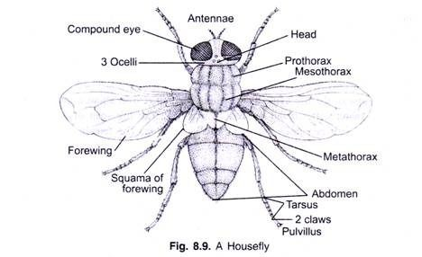 Image result for house    fly       diagram      Inspiration question mark   Life cycles     Diagram     Sketches