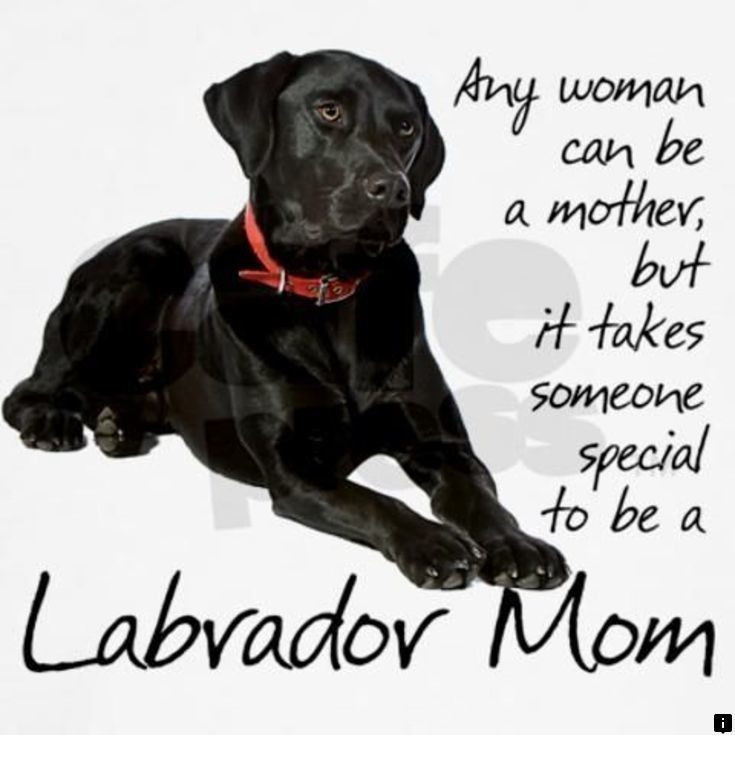 --Read information on labrador retriever puppies. Please click here for more_ Do not miss our web pages! #labradorretrieverpuppies