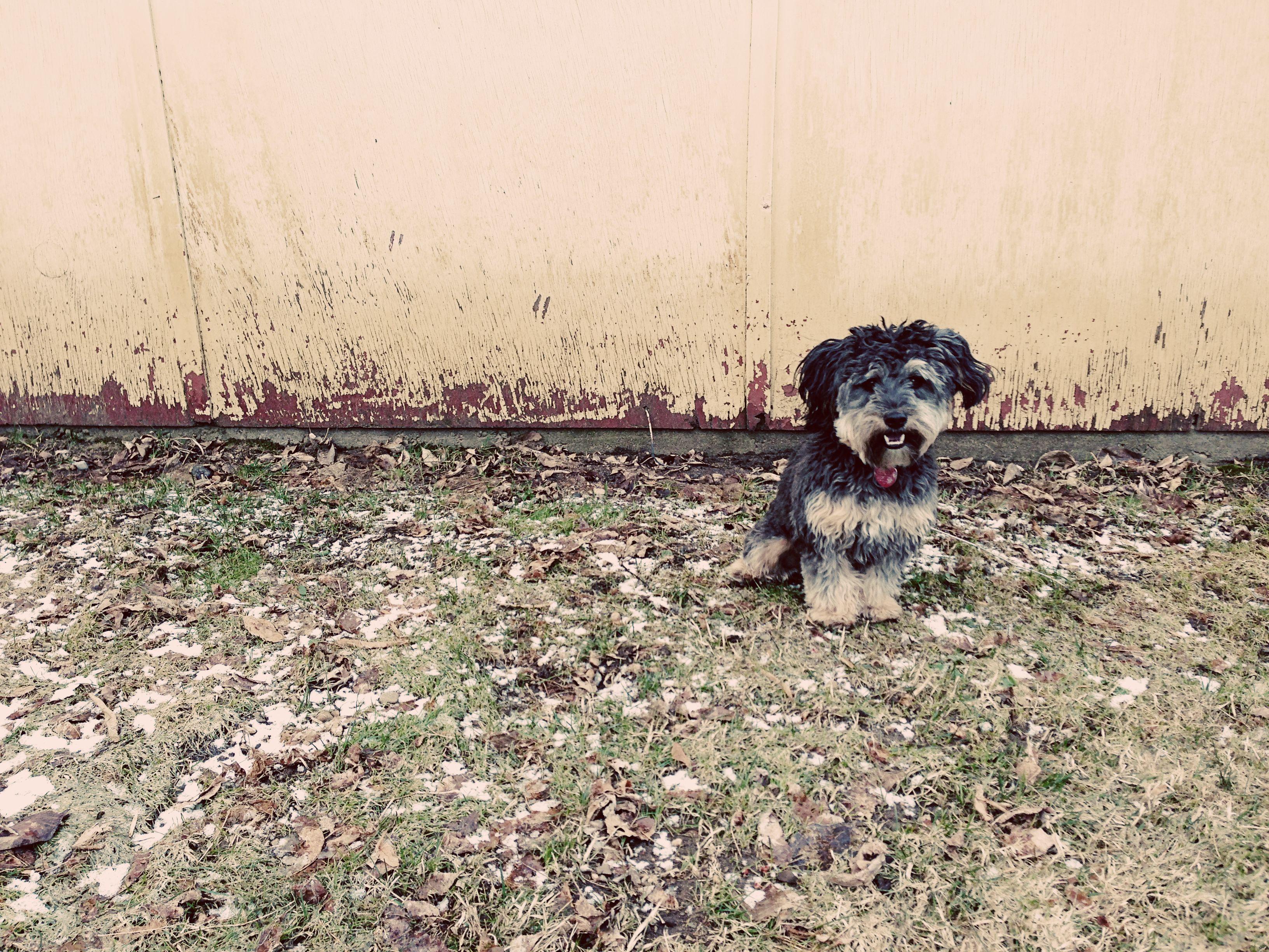 My Dog Mac Yorkie Poodle Yorkiepoo Ogden Utah Puppy Yorkie Poo Yorkie Dogs