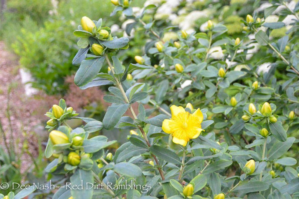 Wildflower Wednesday in Oklahoma - Red Dirt Ramblings® - Hypericum sp., St. Johns's wort