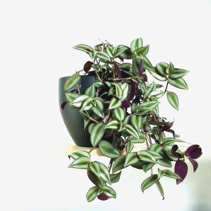 Trailing House Plants Divine Unique Indoor Pots Purple 400 x 300
