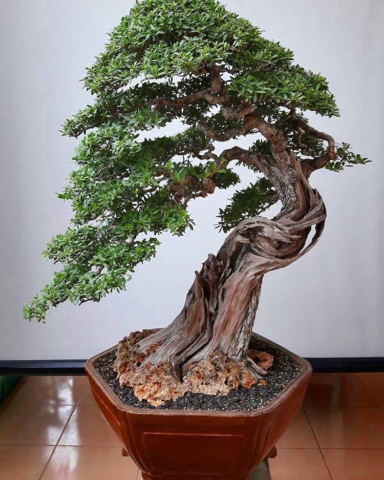 Best Bonsai Trees In The World In 2020 Bonsai Tree Types Bonsai