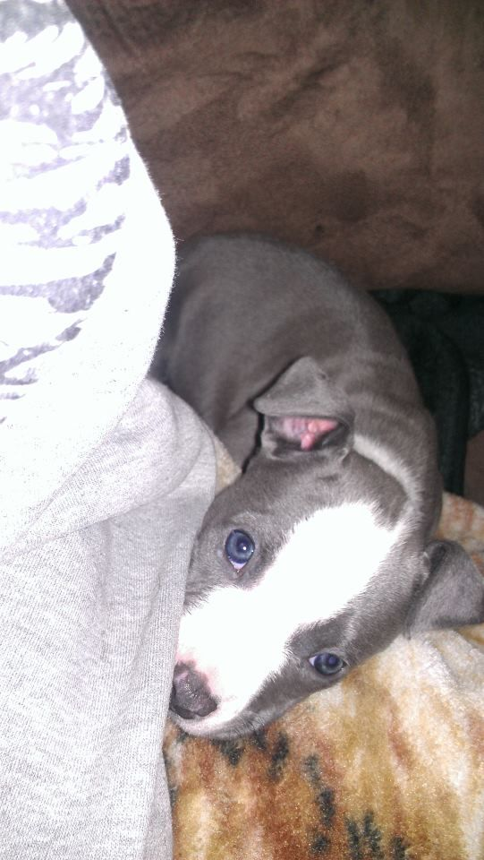 my baby girl diamond. looking up at me with those bright blue eyes <3 blue nose pitbull puppy 7 weeks old