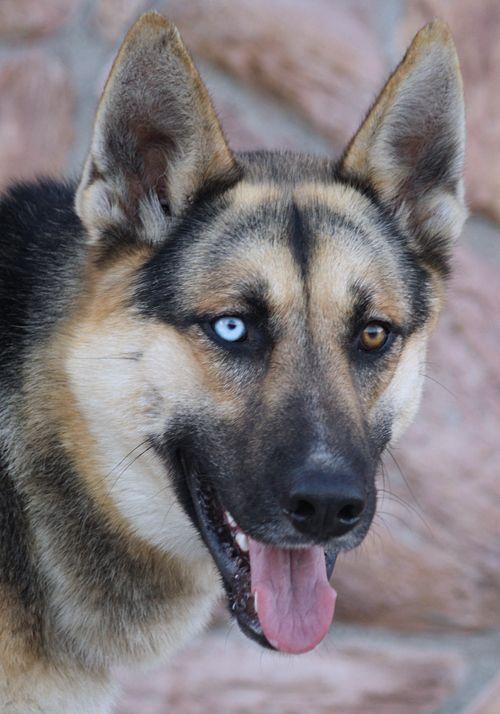 Husky/Shepard mix Dogs & Puppies Pinterest Dog