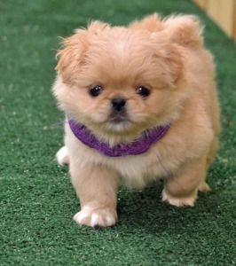 Pekingese Puppy Looks More Like A Teddy Bear Than A Puppy So Cute Pekingese Puppies Puppies Cute Dogs