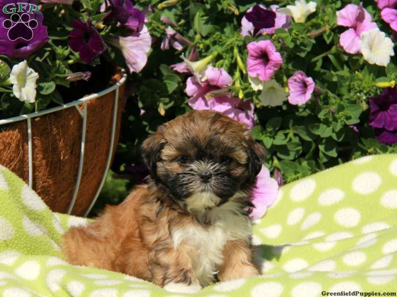 Shichon Teddy Bear Puppies For Sale In Pa Bear Puppy Puppies