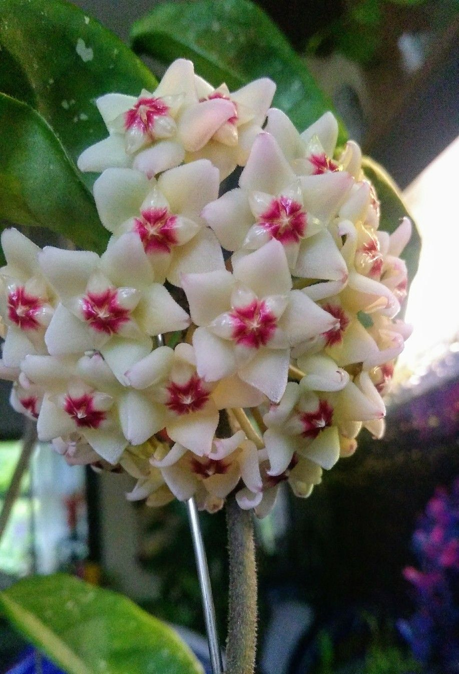 HOYA CARNOSA Krimson Queen-bellissima Porcellana Fiore//fiore cera