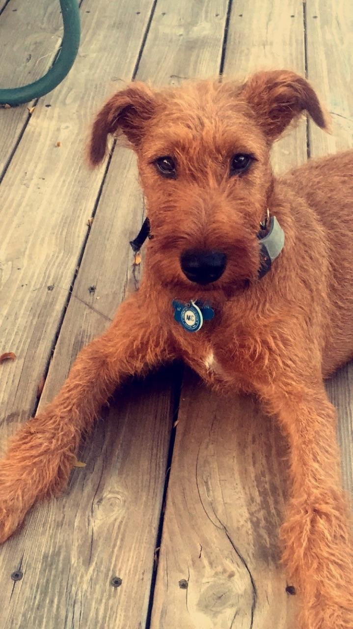 Pin By Alice Grant On Rusty And Teddy Irish Terrier Irish Dog