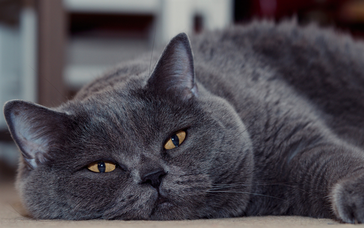 Download Wallpapers British Shorthair Cat Gray Fluffy Cat Domestic Cats Cute Animals Cats Besthqwallpapers Com British Shorthair Cats Grey Cats Cats And Kittens