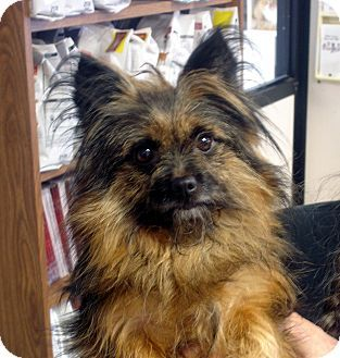 Cairn Terrier Pomeranian Mix Dog For Adoption In Manassas