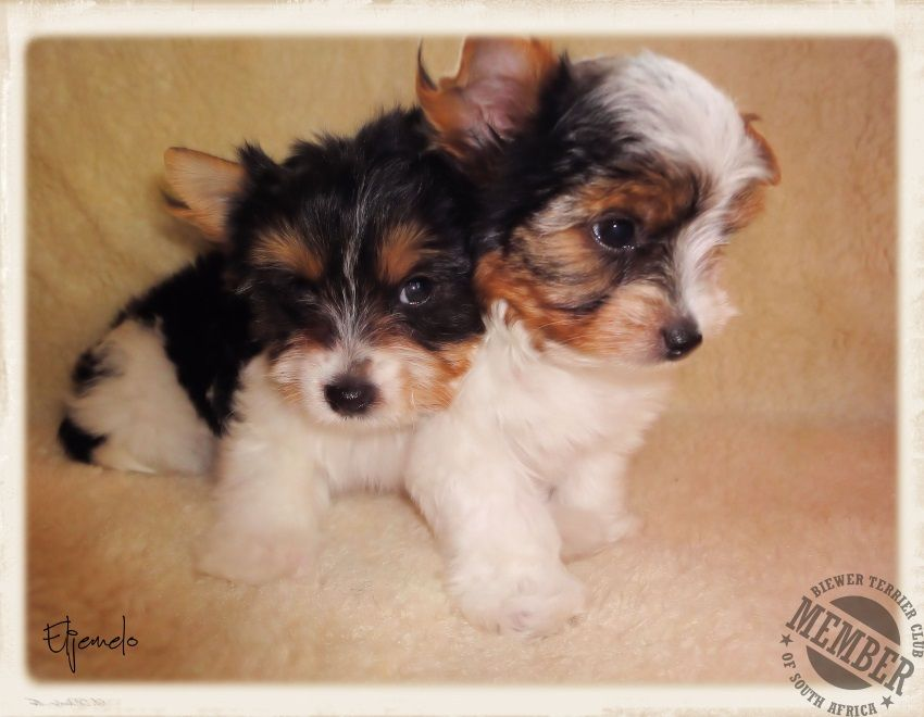 Biewer Terrier Breeders Biewer A La Pom Pon Biewer Puppies For