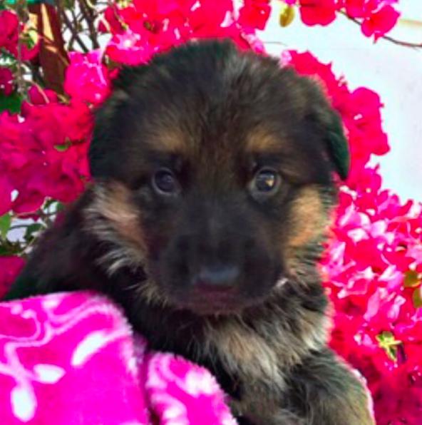German Shepherd Dog Puppy For Sale In Miami Fl Adn 54769 On Puppyfinder Com Gender Female Age German Shepherd Dogs German Shepherd Puppies German Shepherd