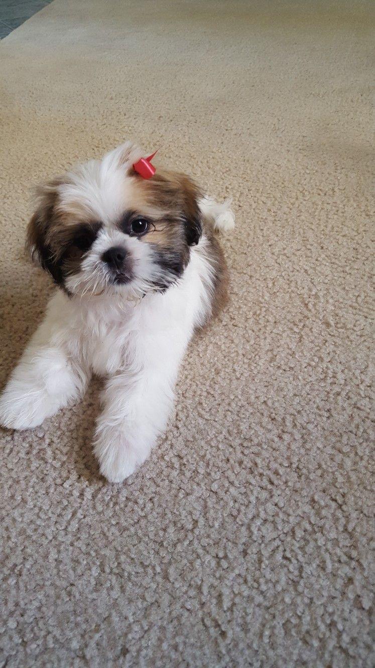 Pin On Shih Tzu Puppies