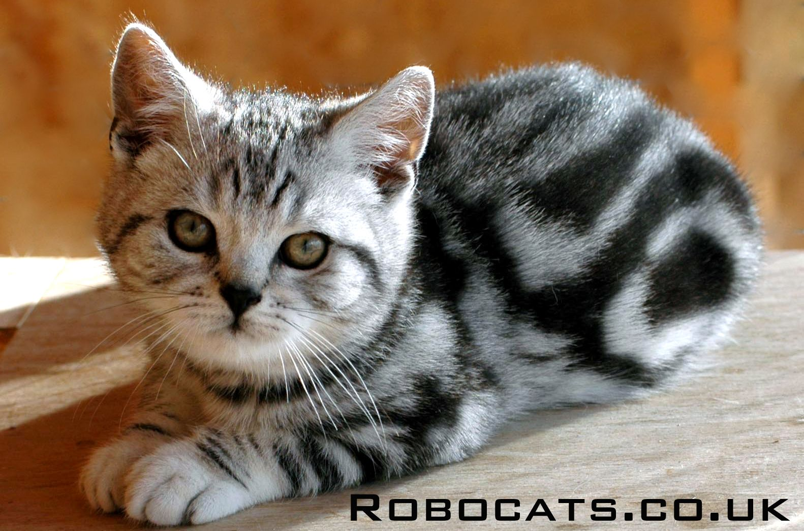 British Shorthair Silver Tabby Kitten Bred By Robocats Www Robocats Co Uk In 2020 Tabby Cat Silver Tabby Cat Silver Tabby Kitten