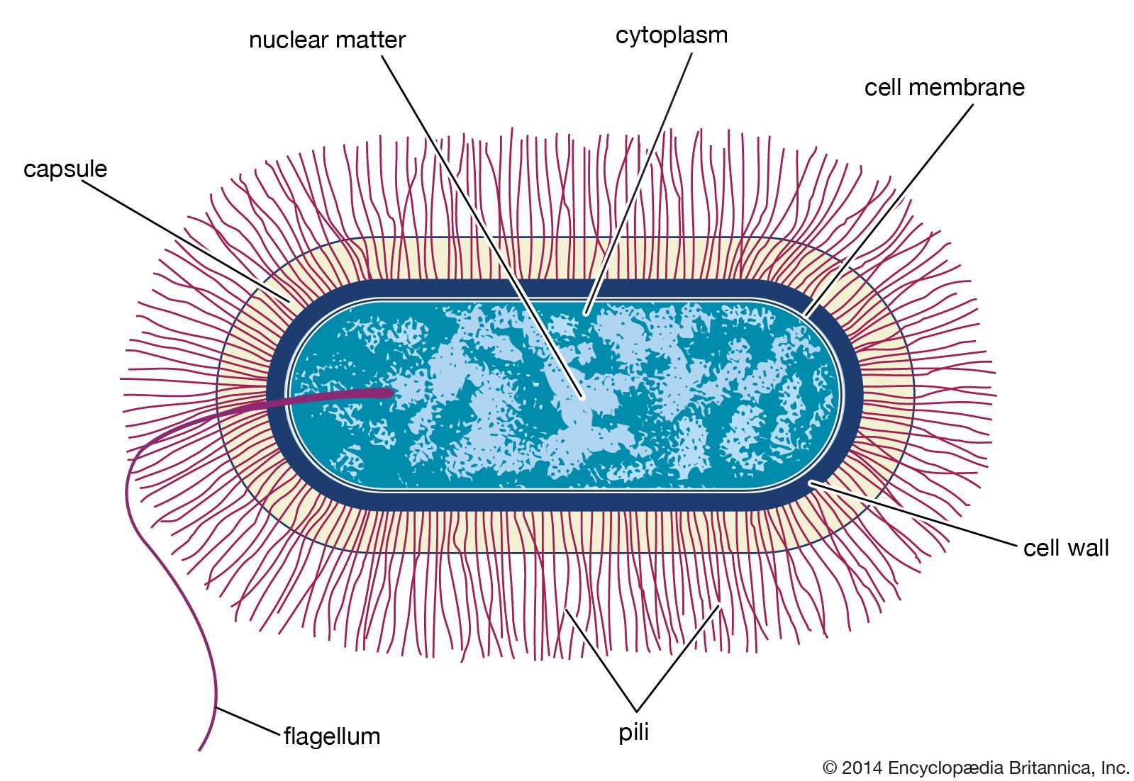 Pin by Science Education on Cells Bacillus, Cells