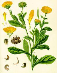 Semillas de Caléndula (Calendula Officinalis) - Spicegarden