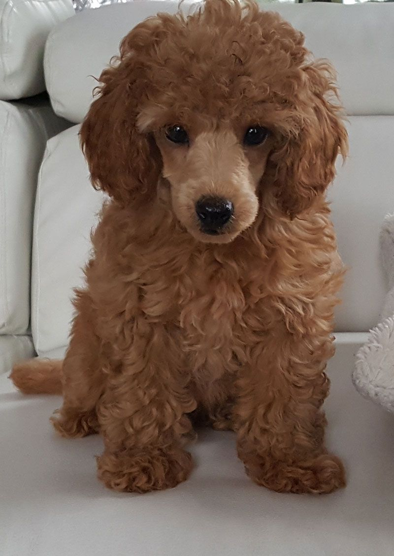 Toy Poodle Breeder From Lachicpatte Com Poodle Dog Dog Training