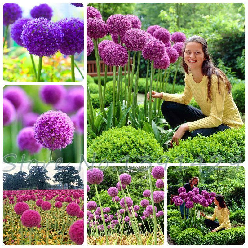 50 stks Paars Giant Allium Giganteum GLOBEMASTER Mooie Bloemzaden de Ontluikende Tarief 95% Tuin Plant Voor Kids Gift