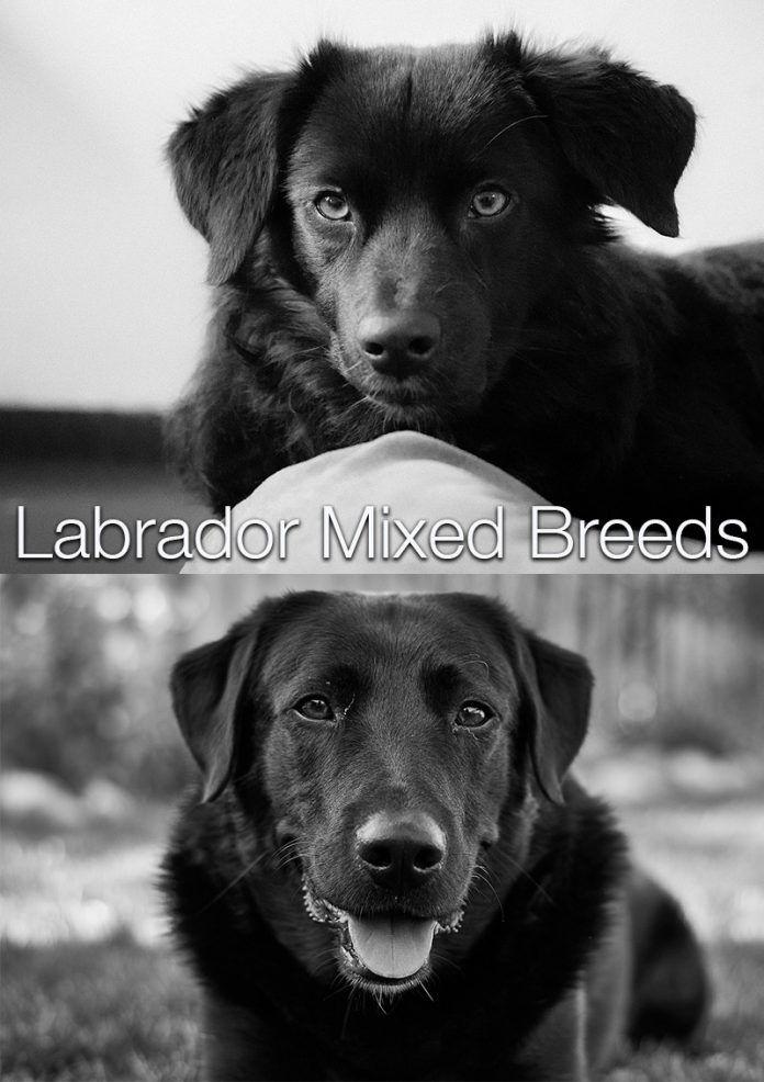Lab Mix Labrador Cross Breeds Labrador Mix Labrador Dog