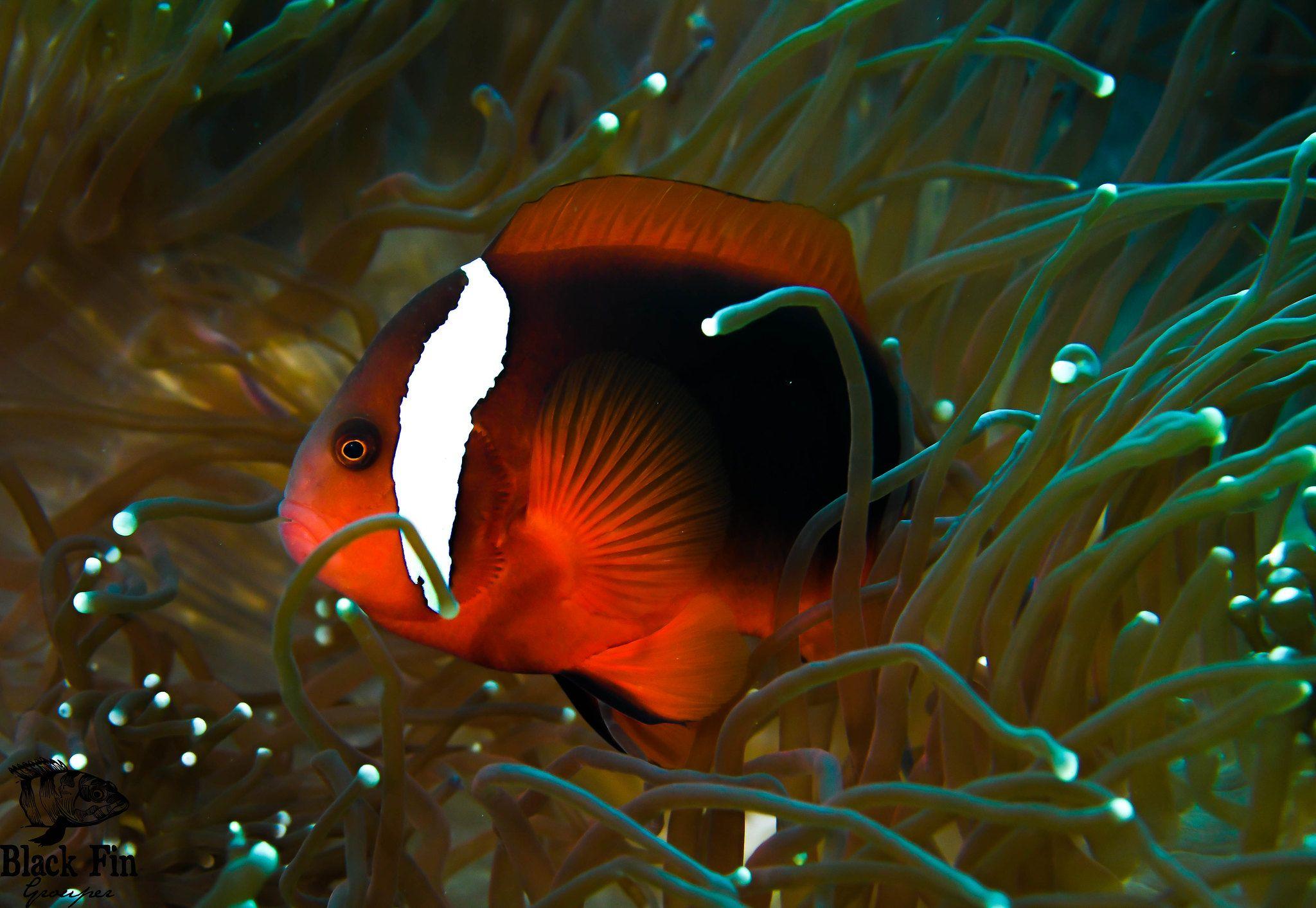 Tomato Clownfish Anemone