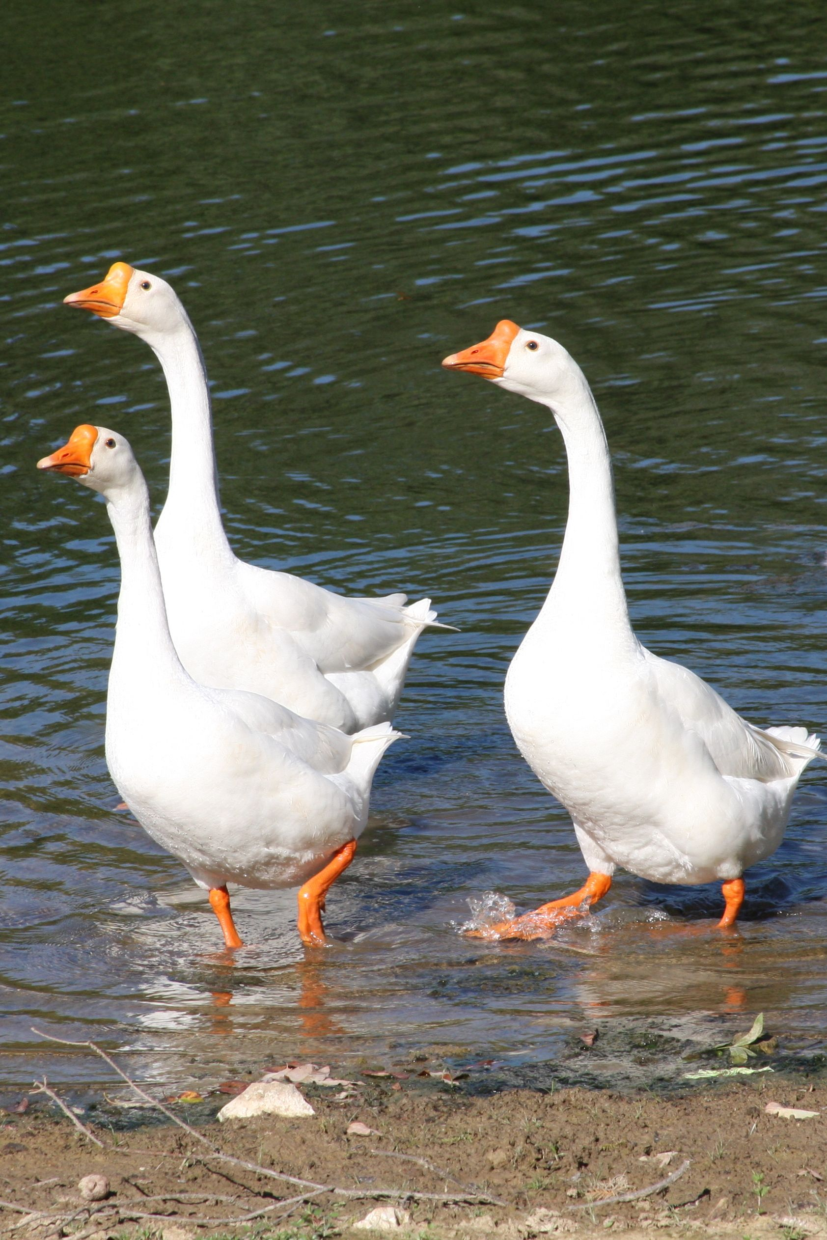 White Chinese Geese Lay 45 55 eggs yr monly lay in fall&winter They talk back to you if you raise them from babies as well as alert you to intruders