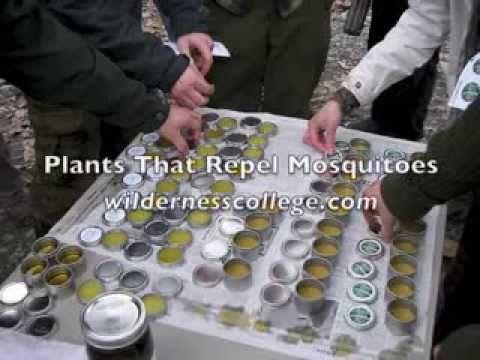 Plants That Repel Mosquitoes - Alderleaf Wilderness College #plantsthatrepelmosquitoes