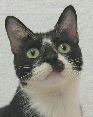 Sabrina is an adoptable manx in Huntsville, AL @ The Ark, Inc.