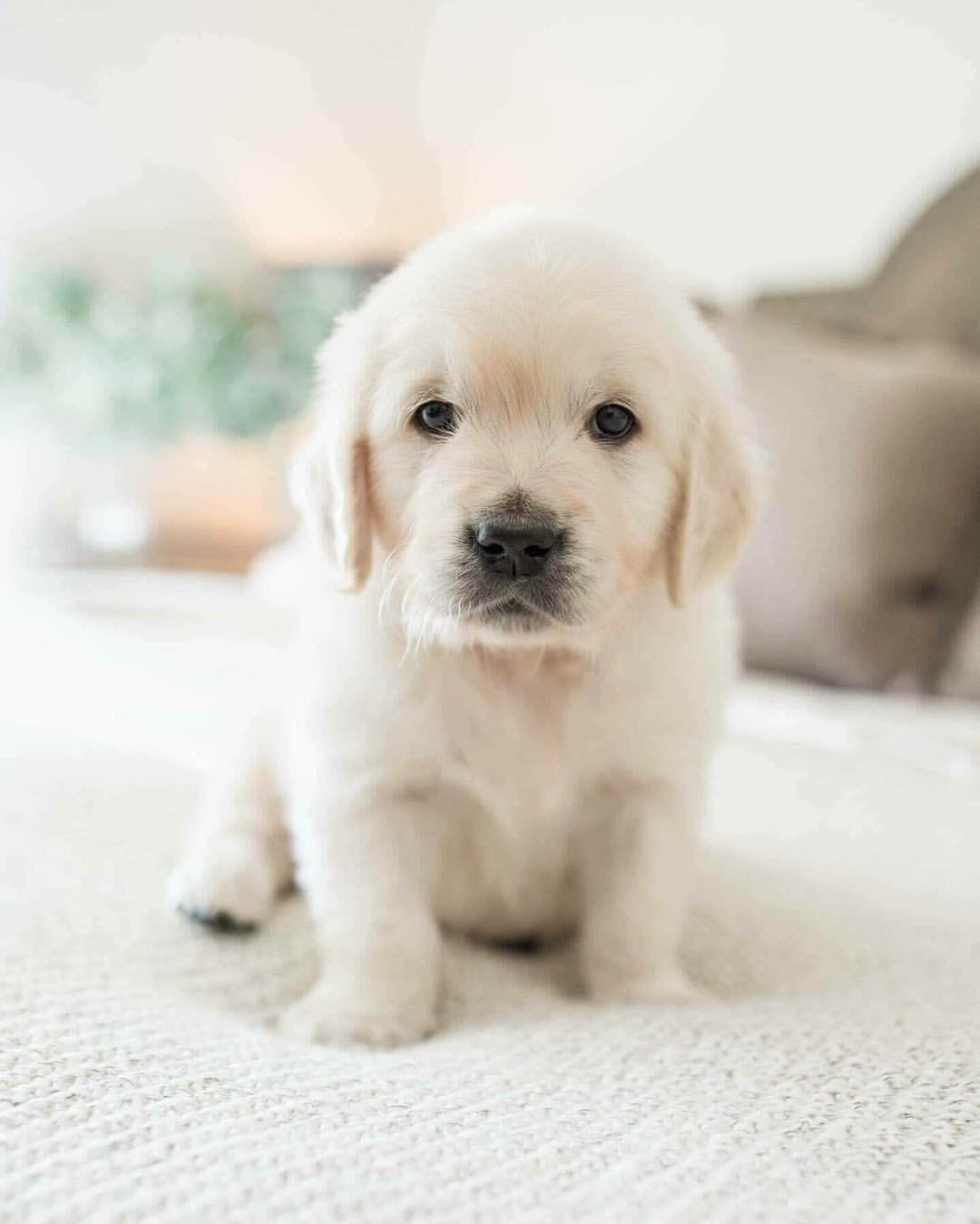 Golden Retriever Puppy Pets