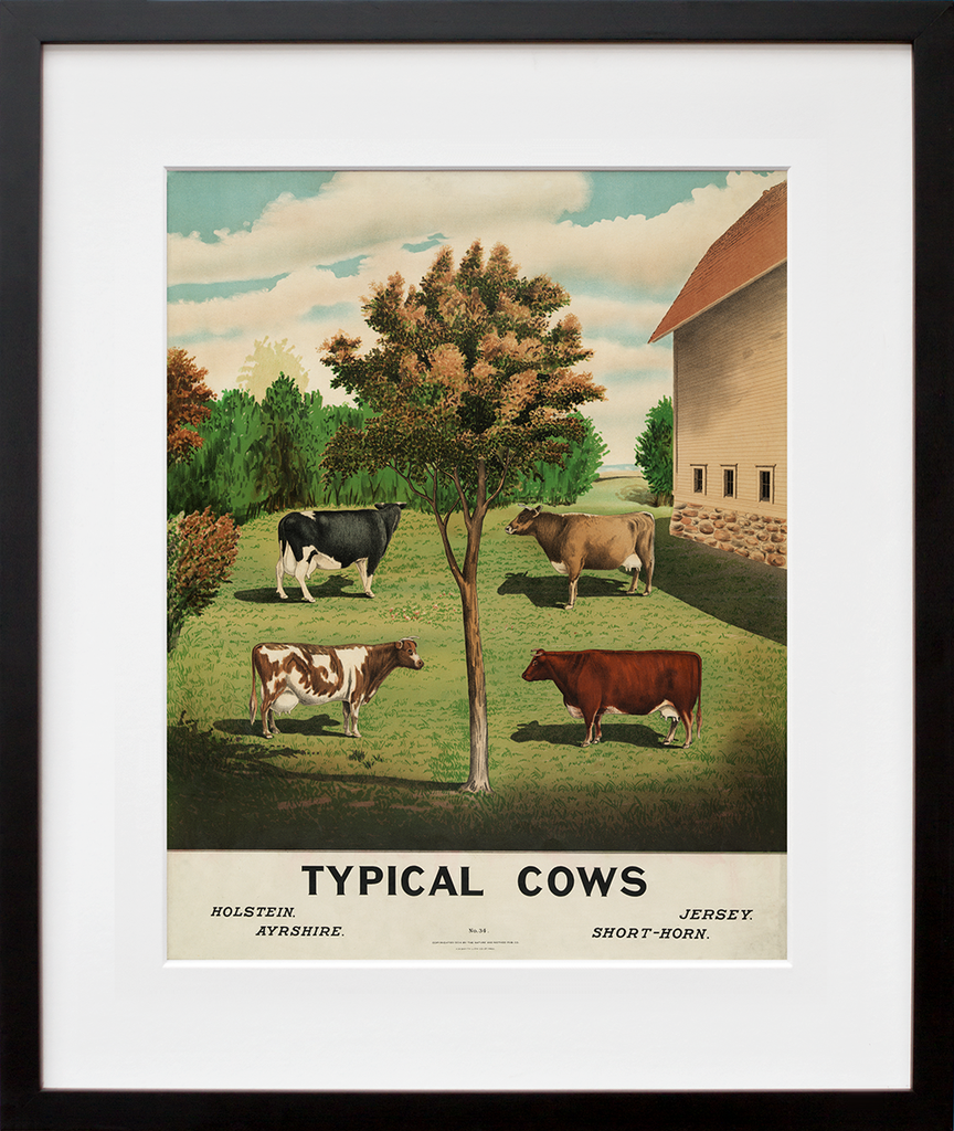 Typical Cows Cow illustration